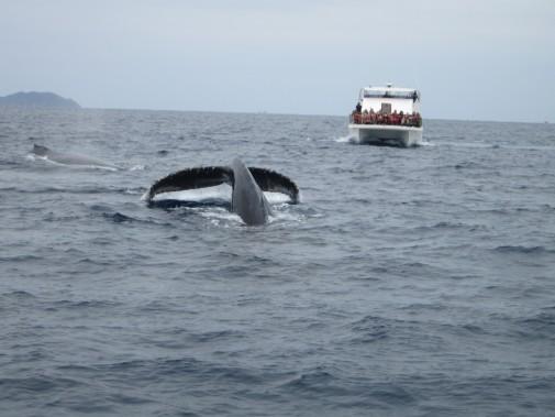 海面から見えるクジラのしっぽ_02