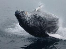 迫力のあるザトウクジラ