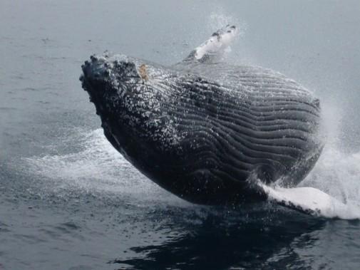 海面から飛び出すクジラ