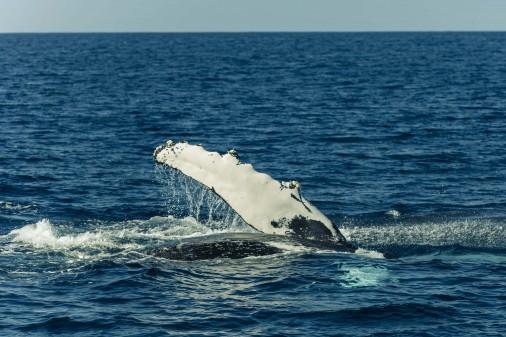 海を潜ろうとしているクジラ