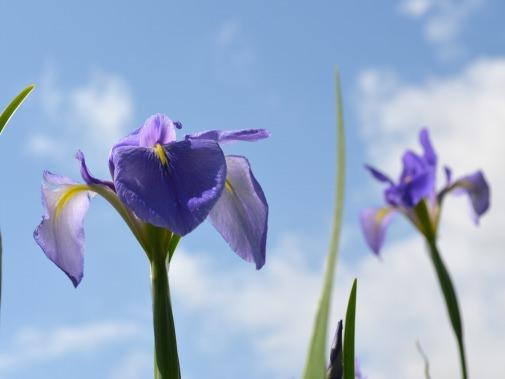 オクラレルカの花