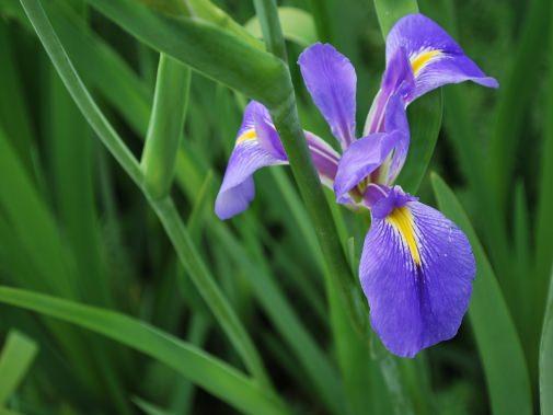 オクラレルカの花のアップ