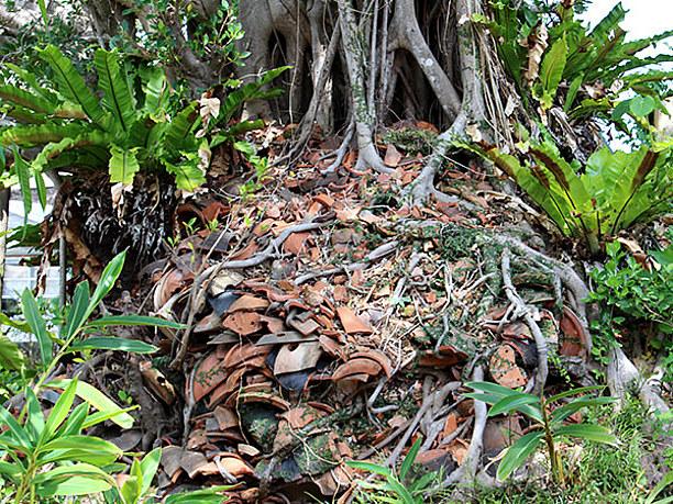 フェーヌカマ横のガジュマルの木