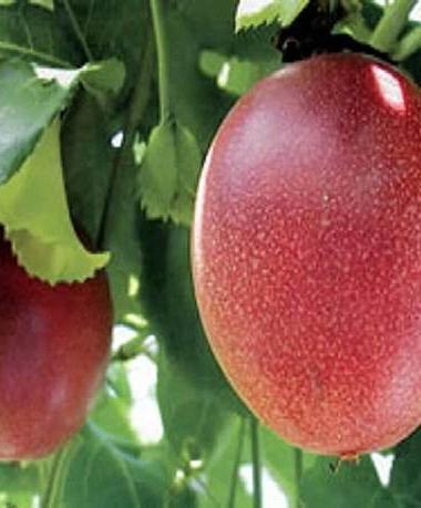 楽園の果実のマンゴー農園