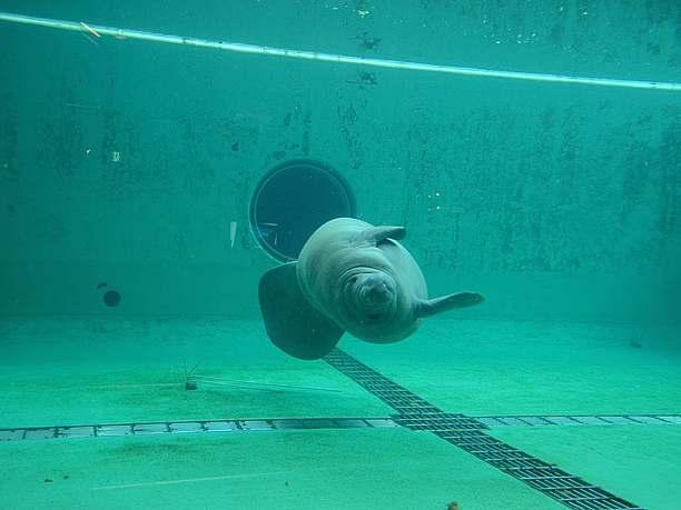 体を回転させながら泳ぐマナティー