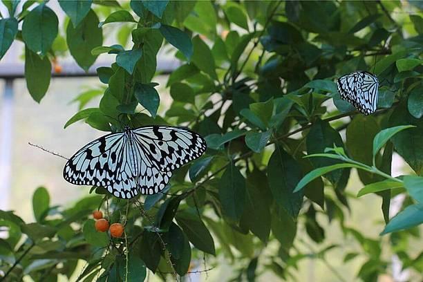 国内最大の蝶・オオゴマダラ