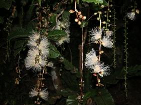 枝から垂れ下がる花序
