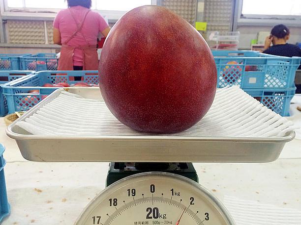 2キロ近い、超ビッグサイズのマンゴー
