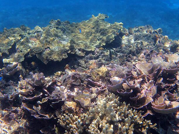 サンゴ礁の海でシュノーケリング