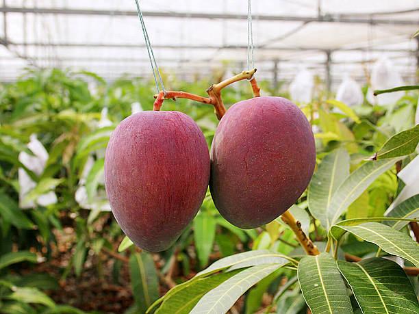 旬の時期のマンゴー