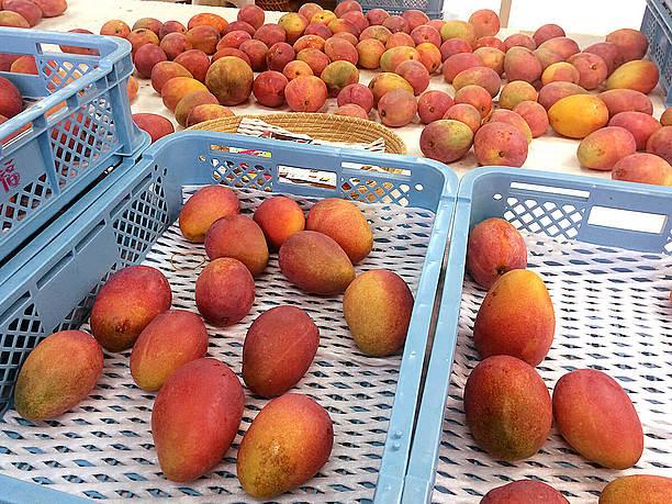 出荷待ちのアップルマンゴー