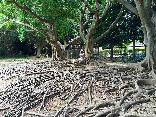 圧倒されるガジュマルの木