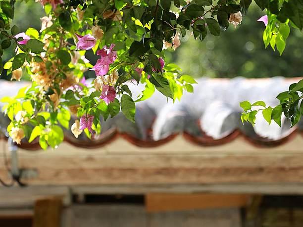 ケラマツツジやブーゲンビリアが咲き誇る