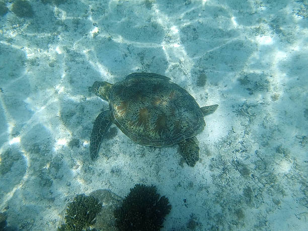 海底に生えている海藻を食べるウミガメ