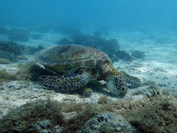 海底に生えている海藻を食べているところ