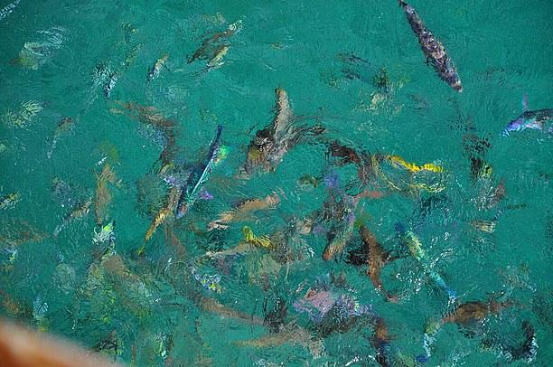 カラフルな天然の魚達がエサに群がる