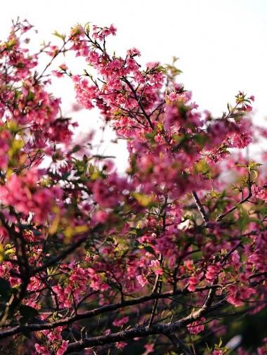 咲き誇る緋寒桜