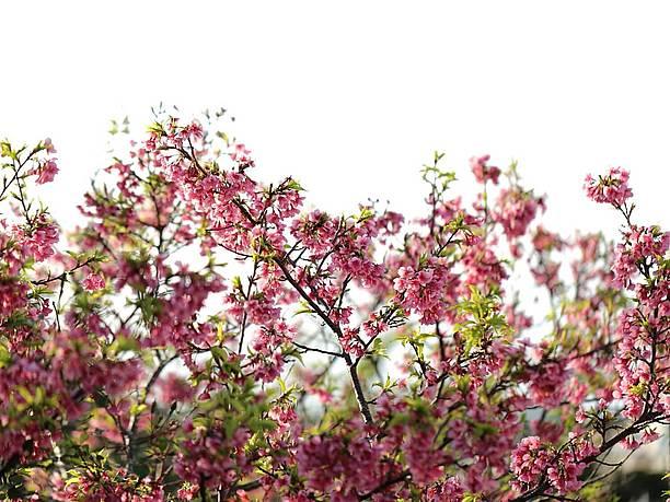 緋寒桜が咲き誇る