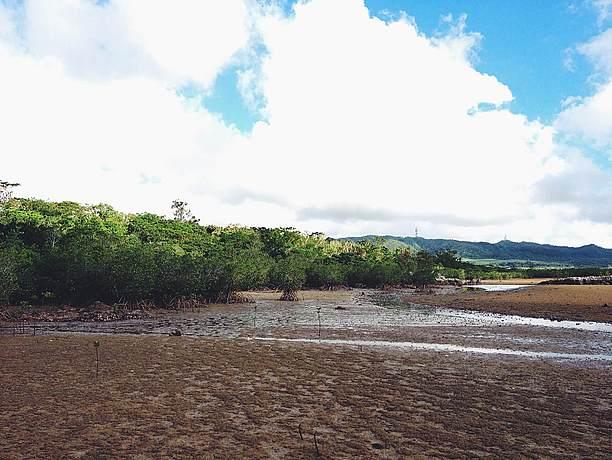 潮が引くと干潟からマングローブが間近に見える