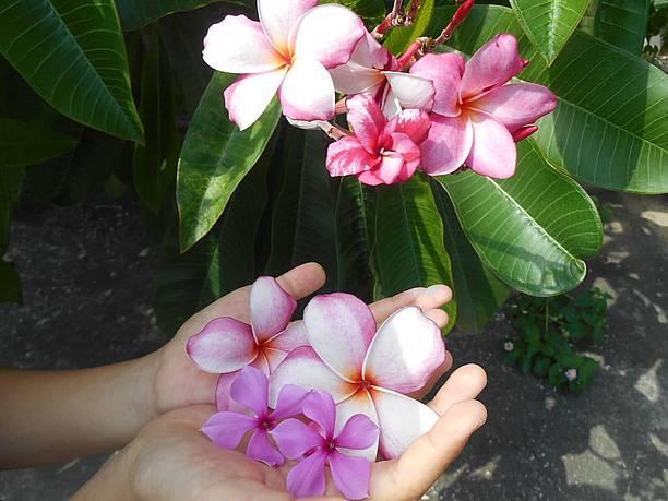 カフェの前の庭先からは、ピンクのプルメリアや日日草の花をいただく