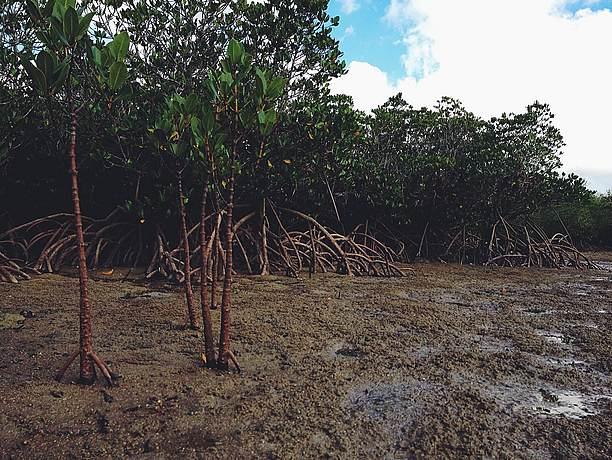 マングロ ーブの根本の干潟にはさまざまな生き物も生息