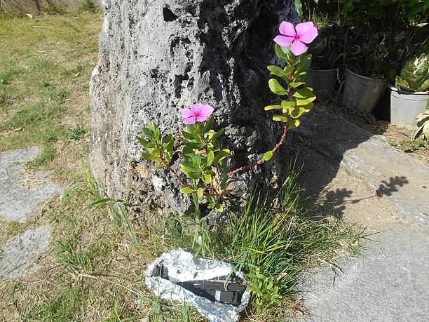 人頭税石のくぼみから生え花を咲かせている日日草