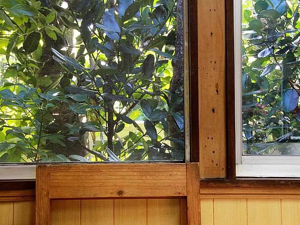 窓越しに見えるフクギ