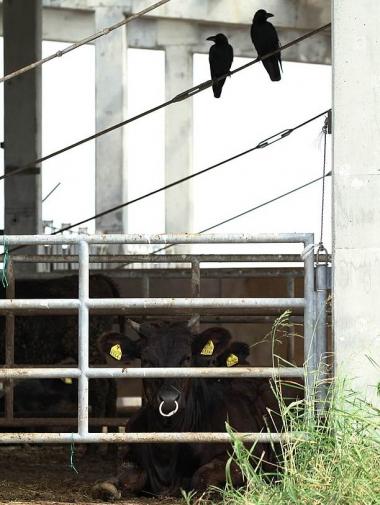 柵の中に牛