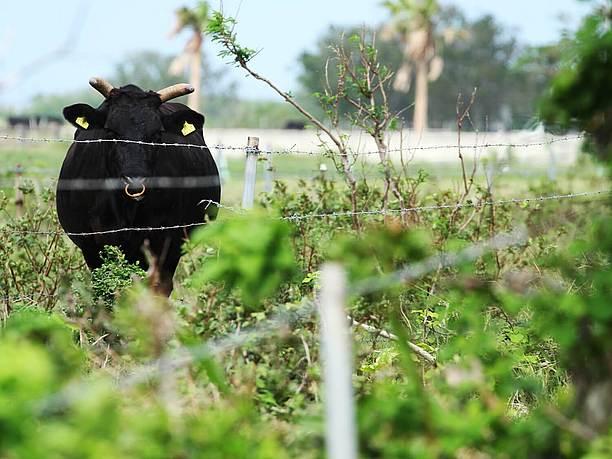 草の中に牛