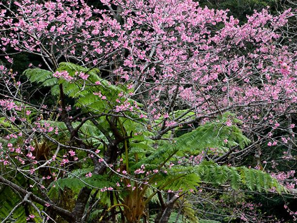 亜熱帯の植物と桜