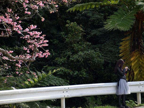 亜熱帯の植物と桜の面白い競演