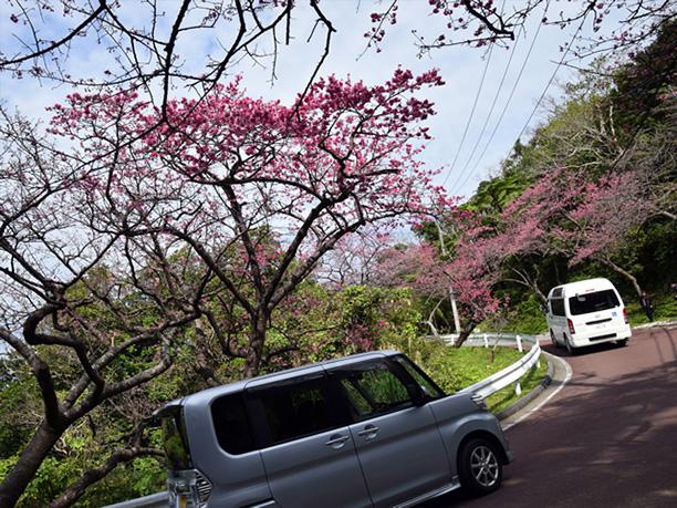 沿道の両わきに咲く桜