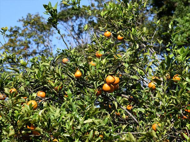 艶々の果実