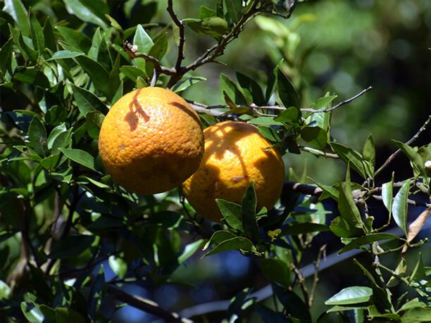 果実のアップ