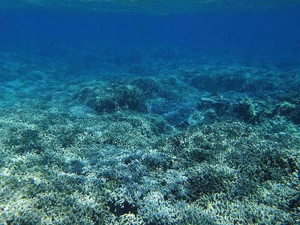 ユビエダサンゴの群生