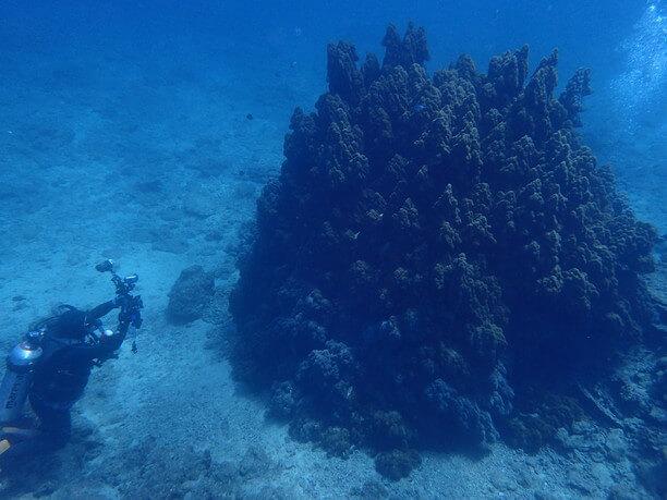 宮殿サンゴ