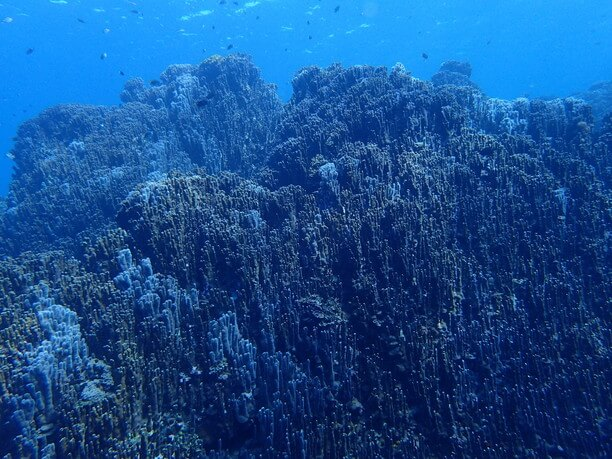 圧巻の大浦湾のアオサンゴ群集