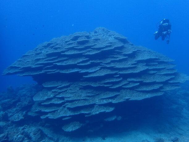 チリビシのフカアナハマサンゴ