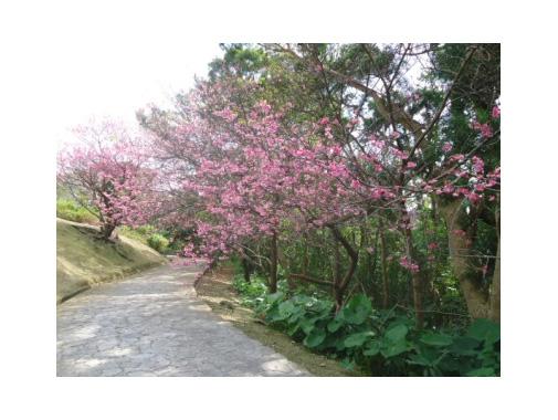 太陽の丘園路沿いの桜