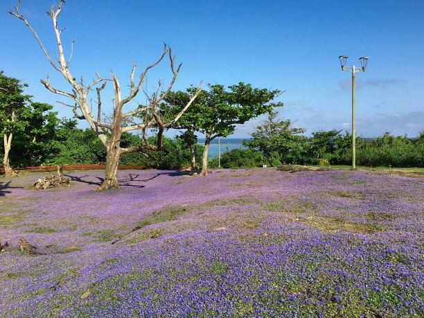 ヒメキランソウの花畑のある崎原公園