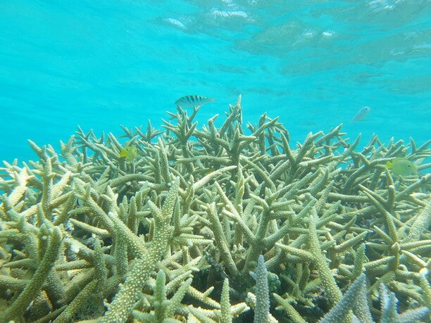 枝珊瑚の群生