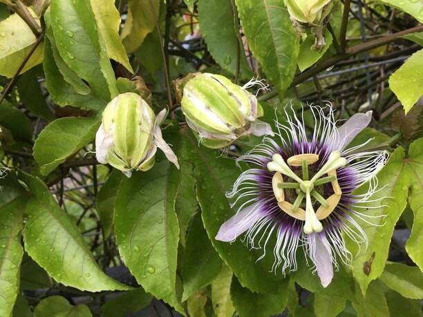 パッションプルーツの花