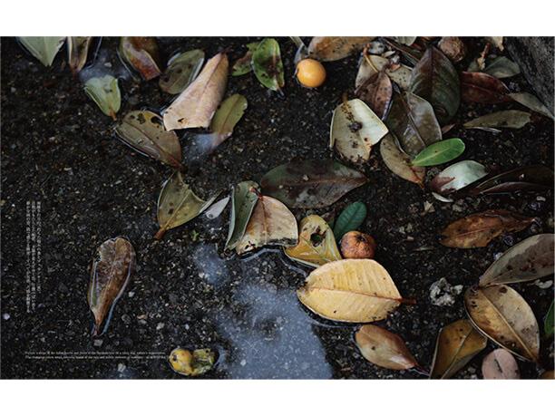 雨降りの日の福木の葉っぱと実/石垣島・石垣市内
