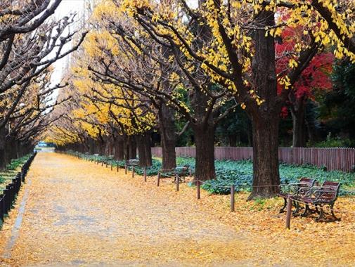外苑の銀杏並木の写真