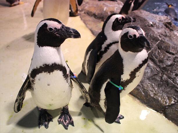 マクセルアクアパーク品川 ペンギン